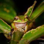 1993 White-lipped Tree Frog (Litoria infrafrenat), Arenal Oasis Lodge, Costa Rica