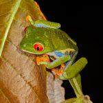 1994 Red-eyed Green Tree Frog (Agalychnis callidryas), Arenal Oasis Lodge, Costa Rica