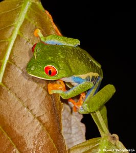 1994 Red-eyed Green Tree Frog (Agalychnis callidryas), Arenal Oasis Lodge, Costa Rica