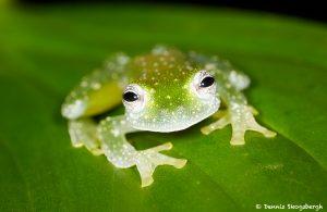 7962 Fleischmann's Glass Frog (Hyalinobatrachium fleischmanni), Arenal Oasis Lodge, Costa Rica