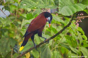 2003 Montezuma Oropendola (Psarocolius montequma), Arenal Oasis Lodge, Costa Rica