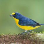 7971 Yellow-throated Euphonia (Euphonia lamiirostris), Arenal Oasis Lodge, Costa Rica