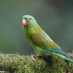 7970 Orange-chinned Parakeet (Brotogeris jugularis), Laguna del Lagarto Lodge, Costa Rica