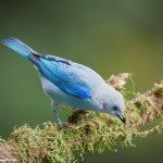 7969 Blue-gray Tanager (Thraupis episcopus), Laguna del Lagarto, Costa Rica