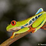 2004 Red-eyed Green Tree Frog (Agalychnis callidryas), Arenal Oasis Lodge, Costa Rica