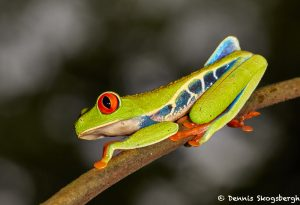 2004 Red-eyed Green Tree Frog (Agalychnis callidryas), Arenal Oasis Lodge, Costa Rica