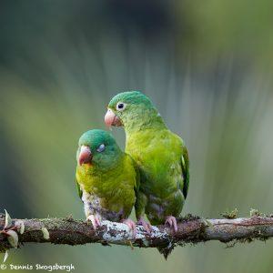 6157 Orange-chinned Parakeet (Brotogeris jugularis), Laguna del Lagarto Lodge, Costa Rica