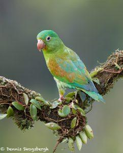 7945 Orange-chinned Parakeet (Brotogeris jugularis), Laguna del Lagarto Lodge, Costa Rica