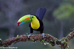 7944 Keel-billed Toucan (Ramphastos sulfuratus), Laguna del Lagarto Lodge, Costa Rica