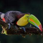 7946 Keel-billed Toucan (Ramphastos sulfuratus), Laguna del Lagarto Lodge, Costa Rica
