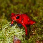 7958 Strawberry Poison Dart Frog (Dendrobates pumillo), Laguna del Lagarto Lodge, Costa Rica