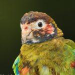 7959 Brown-hooded Parrot (Pionopsitta haematotis), Laguna del Lagarto, Costa Rica