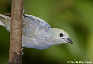 7986 Palm Tanager (Thraupis palmarum), Laguna del Lagarto, Costa Rica