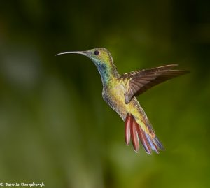 7955 Rufous-tailed Hummingbird (Amazilia tzacatl), Laguna del Lagarto Lodge, Costa Rica