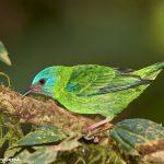 7999 Female Blue Dacnis (Dacnis cayana), Laguna del Lagarto, Costa Rica