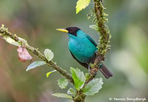 7946 Green Honeycreeper (Chlorophanes spiza), Laguna del Lagarto, Costa Rica