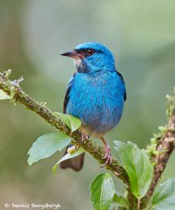 7988 Male Blue Dacnis (Dacnis cayana), Laguna del Largarto, Costa Rica