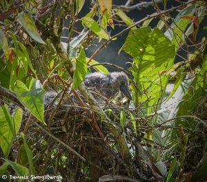 7992 Boat-billed Heron (Cochlearius cochlearius), Laguna del Lagarto, Costa Rica