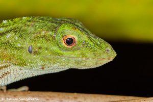 7994 Green Poison Dart Frog (Dendrotabes auratus), Laguna del Lagarto, Costa Rica