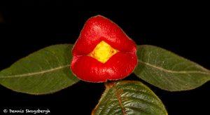 3005 Psychotria elata, Costa Rica