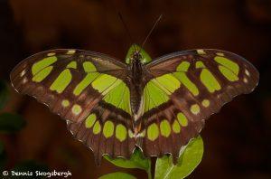 3043 Malachite (Siproeta stelenes), Costa Rica