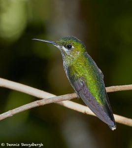 7938 Female Green-crowned Brilliant Hummingbird (Heliodoxa jacula), La Paz Waterfall Gardens, Costa Rica