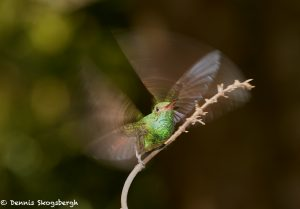 2047 Rufous-tailed Hummingbird (Amazilia tzacatl), Laguna del Lagarto Lodge, Costa Rica