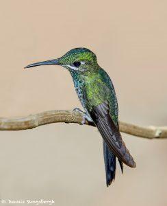 7939 Female Green-crowned Brilliant Hummingbird (Heliodoxa jacula), La Paz Waterfall Gardens, Costa Rica