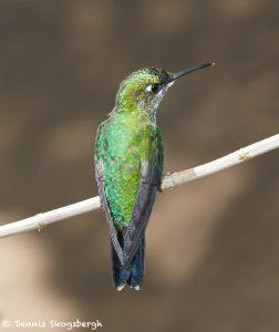 7941 Female Green-crowned Brilliant Hummingbird (Heliodoxa jacula), La Paz Waterfall Gardens, Costa Rica