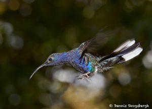 7951 Violet Sabrewing Hummingbird (Campylopterus hemileucurus), Peace Lodge, Costa Rica