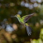 7985 Garden Emerald (Chlorostilbon assimilis), Peace Lodge, Costa Rica
