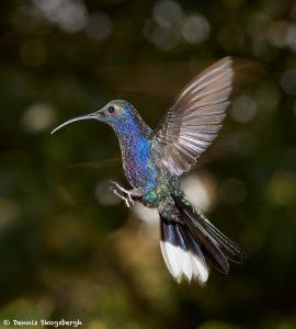 7952 Violet Sabrewing Hummingbird (Campylopterus hemileucurus), Peace Lodge, Costa Rica