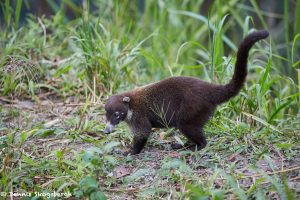2050 White-nosed Coati (Nasua narica), Costa Rica