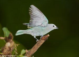 7977 Blue-gray Tanager (Thraupis episcopus), Laguna del Lagarto, Costa Rica