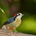 7978 Black-cheeked Woodpecker (Melanerpes pucheraini), Laguna del Lagarto, Costa Rica