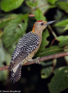 7979 Hoffmann's Woodpecker (Melanerpes hoffmannii), Laguna del Lagarto, Costa Rica
