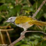 7965 Buff-throated Saltator (Saltator maximus), Arenal Oasis Lodge, Costa Rica