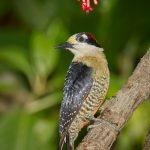 7965 Black-cheeked Woodpecker (Melanerpes pucherani), Laguna del Lagarto, Costa Rica