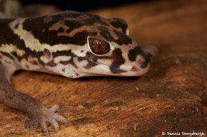 2018 Central American Banded Gecko (Coleonyx Mitratus), Arenal Oasis Lodge, Costa Rica