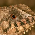 2020 Casque-headed Lizard (Corytophanes cristatus)