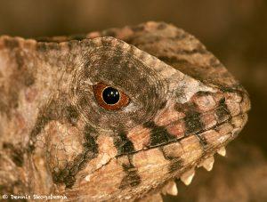 2020 Casque-headed Lizard (Corytophanes cristatus), Arenal Oasis Lodge, Costa Rica