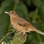 7964 Clay-colored Thrush (Turdus grayi), Arenal Oasis Lodge, Costa Rica