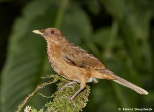 7964 Clay-colored Thrush (Turdus grayi), Arenal Oasis Lodge, Costa Rica