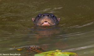 1979 Neotropical River Otter (Lontra longicaudis), Laguna del Lagarto, Costa Rica