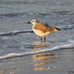 7862 Laughing gull (Leucophaeus atricilla), Bolivar Peninsula, Texas
