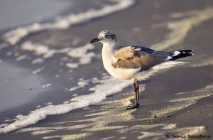 7863 Laughing Gull (Leucophaeus atricilla), Bolivar Peninsula, Texas