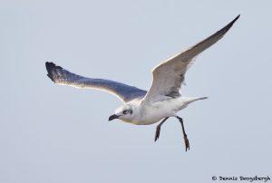 7866 Laughing Gull (Leucophaeus atricilla), Bolivar Peninsula, Texas