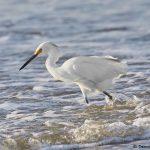 7865 Snowy Egret (Egretta hula), Bolivar Peninsula, Texas