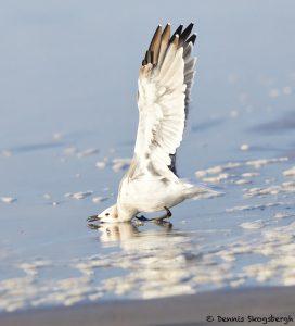 7867 Laughiing Gull (Leucophaeus atricilla), Bolivar Peninsula, Texas