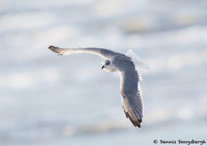 7868 Laughiing Gull (Leucophaeus atricilla), Bolivar Peninsula, Texas